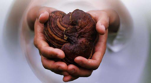 قارچ گانودرمای چینی