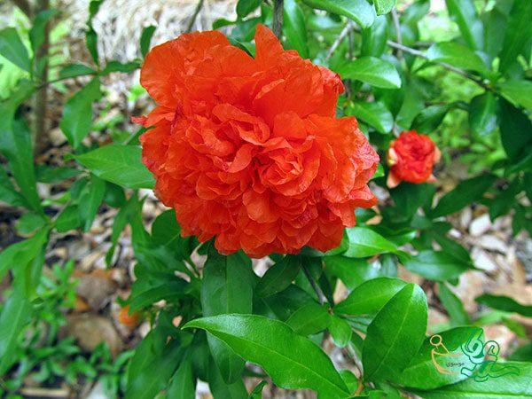 خواص گلنار فارسی