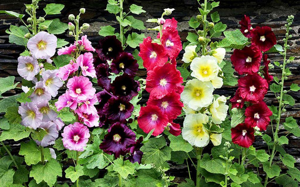 کاربردهای سنتی گل ختمی