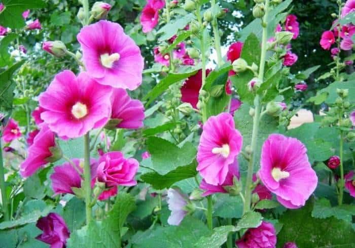 کاربرد های گل ختمی سفید