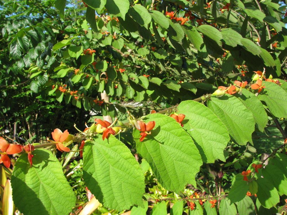 درخت بهمن پیچ